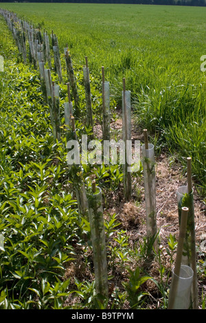 A green foliage garden planting scheme with pittosporum for Grasses planting scheme