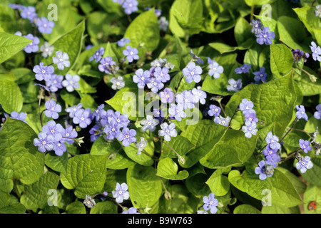 Blue Eyed Mary (Omphalodes verna), flowering stand - Stock Photo