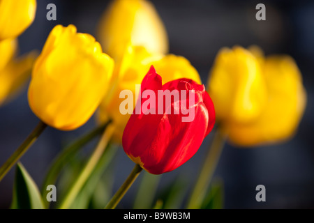 Single Red Tulip in Field of Yellow - Stock Photo