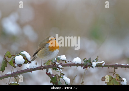 Robin Erithacus rubecula in snow Bedfordshire February - Stock Photo