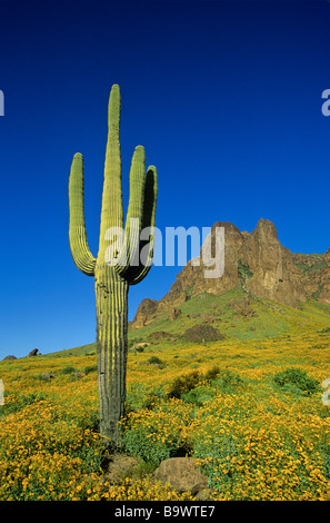 Spring in the desert saguaro cactus and flowering brittlebush at Tonto National Forest Superstition Mountains near - Stock Photo