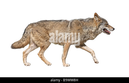 Steppe wolf Canis lupus run in hunting pursuit side view - Stock Photo