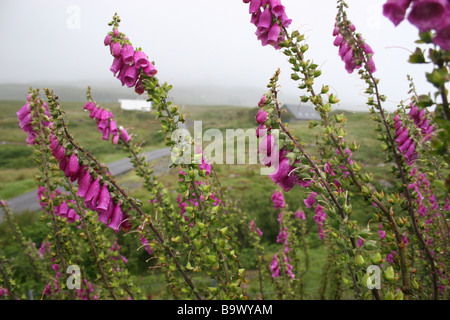 foxgloves growing in the scottish wilds - Stock Photo