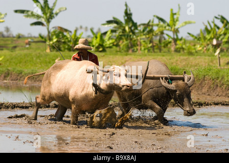 Buffalo at work in a Balines paddyfield - Stock Photo