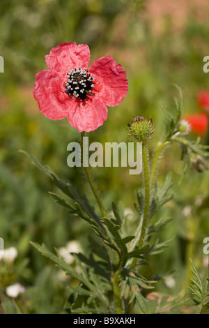 Rough Poppy Papaver hybridum flowers and fruit Uncommon cornfield weed in UK - Stock Photo
