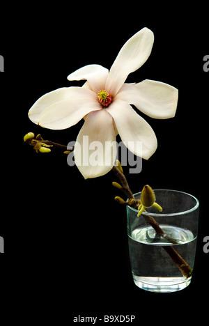 A single magnolia blossom in a glass - Stock Photo