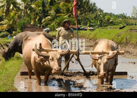 Buffalo at work in a Balinese paddyfield - Stock Photo