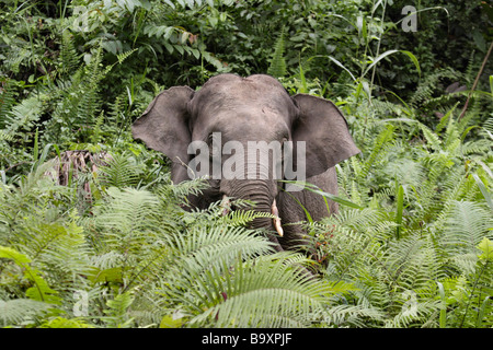 Borneon Pygmy Elephant Elephas maximus borneensis Danum Valley Conservation Area Sabah Borneo - Stock Photo