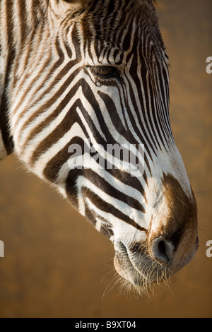 Grevy's zebra ( Equus grevyi ), head - Stock Photo
