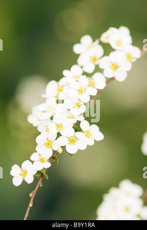 SPIRAEA ARGUTA FOAM OF MAY FLOWERS - Stock Photo