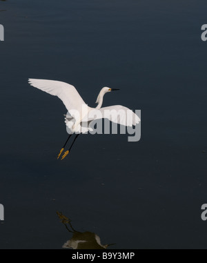 White Egret in fligt. Emerald Isle, North Carolina - Stock Photo