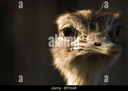 Greater Rhea (Rhea americana) - Stock Photo
