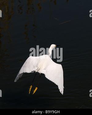 Great White Egret taking off, Emerald Isle, North Carolina - Stock Photo
