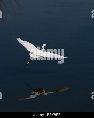 Egret in flight. Emerald Isle, North Carolina - Stock Photo