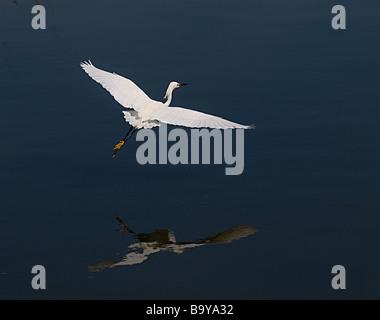 Egret in flight, North Carolina - Stock Photo