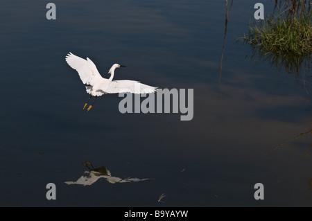 White Egret in flight. Emerald Isle, North Carolina - Stock Photo