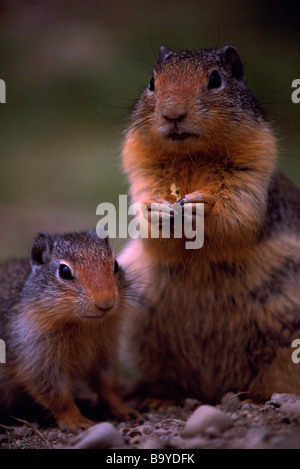 Adult and Young Columbian Ground Squirrels (Spermophilus columbianus) eating - Stock Photo