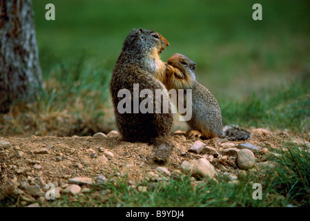 Adult and Young Columbian Ground Squirrels (Spermophilus columbianus) playing - Stock Photo