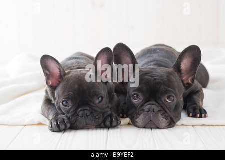 Two french bulldog snuggling on a blanket - Stock Photo