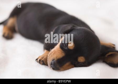 Miniature dachshund sleeping on a blanket - Stock Photo