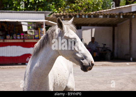A white horse in the street in Moyogalpa on Ometepe Island, Nicaragua. - Stock Photo