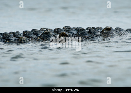 American crocodile tail above water on Nine Mile Pond Everglades National Park Florida - Stock Photo