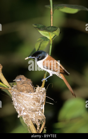 Seychelles Paradise Flycatcher (Terpsiphone corvina), female with chick at nest - Stock Photo