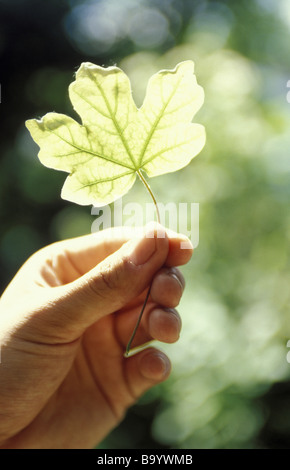 Hand holding leaf up in sunlight - Stock Photo