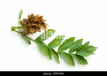 Liquorice (Glycyrrhiza glabra), leaves and fruit, studio picture - Stock Photo