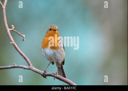 Robin perched on a branch against a blue green background - Stock Photo