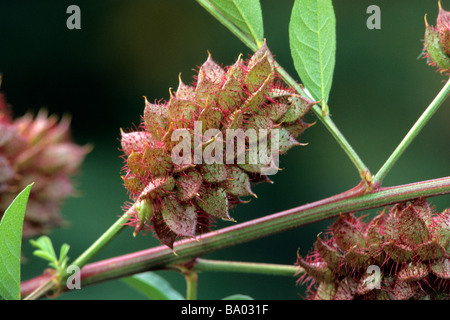 Liquorice (Glycyrrhiza glabra), fruit on plant - Stock Photo