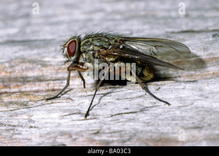 House Fly Housefly Musca domestica adult on wood - Stock Photo