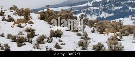 Panorama of watchful Mule Deer jumping through sagebrush in early morning at Jardine Road Gardiner Montana in winter - Stock Photo