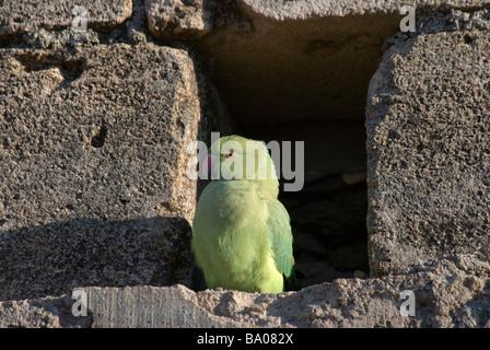 female Rose-ringed Parakeet Psittacula krameri at her nest hole Gujarat India - Stock Photo