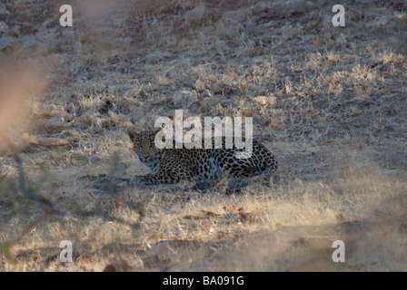 Indian Leopard Panthera pardus fusca lying in dry grass - Stock Photo