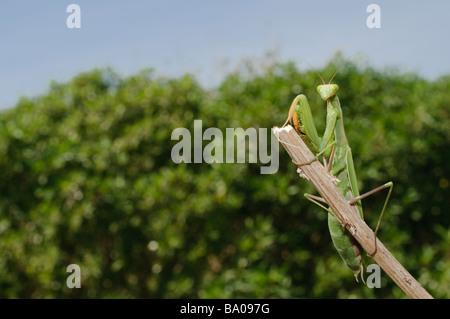 Mediterranean Praying Mantis Mantis religiosa Spain - Stock Photo