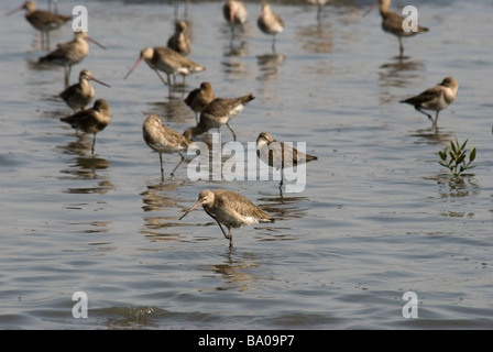 A flock of wintering Black-tailed Godwits Limosa limosa standing in water at high tide in Mumbai, India - Stock Photo