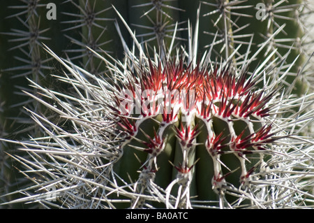 Close up cactus with red thorns against blurred background - Stock Photo