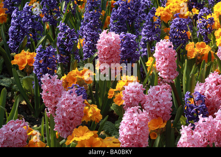 Planted display of brightly coloured spring flowers, Hyacinth & primulas - Stock Photo