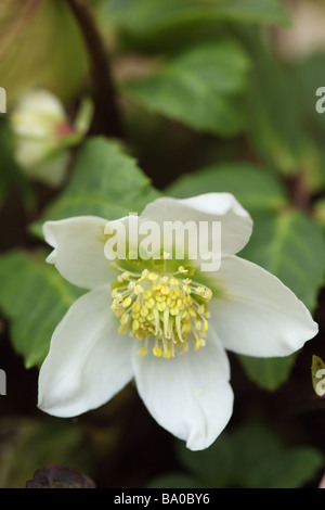 Close up of a white A Helleborus niger flowering in an English garden - Stock Photo