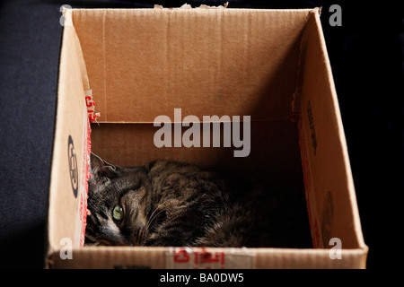American Shorthair Cat lying in a cardboard box. - Stock Photo