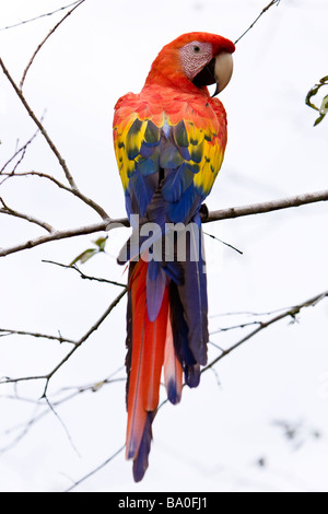 Scarlet Macaw (Ara macao) sitting on a branch against a white sky in the Osa Peninsula, Costa Rica. - Stock Photo