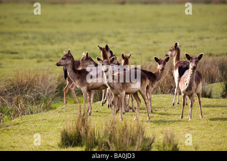 A small herd of Roe Deer - Stock Photo