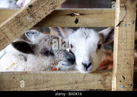 Orphan lambs in the warming pen at West End Farm near Morpeth - Stock Photo
