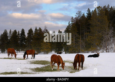 Group of quarter horses and Moose in a field at Triangle X Ranch Grand Teton National Park Wyoming - Stock Photo