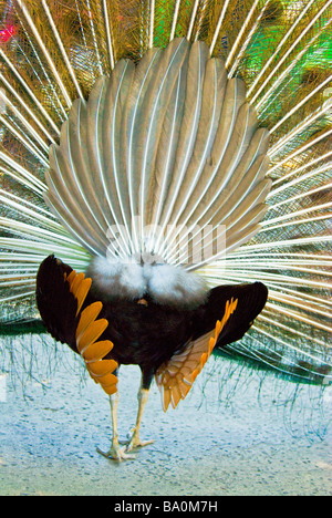 Male Peacock, Pavo cristatus, rear view displaying plumage - Stock Photo