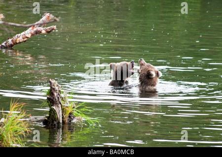Grizzly Bear Cubs, Ursus arctos horriblis, playing in the Brooks River, Katmai National Park, Alaska, USA - Stock Photo