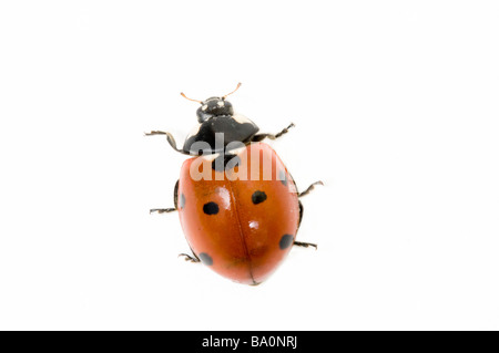 Seven spot ladybird or ladybug Coccinella 7 punctata - Stock Photo