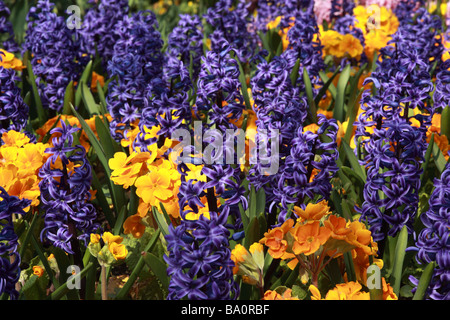 Close up of a planted spring display of brightly coloured blue and yellow Hyacinth & primulas - Stock Photo