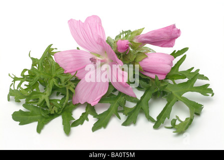 Medicinal plant Moschusmalve musk mallow malva moschate - Stock Photo